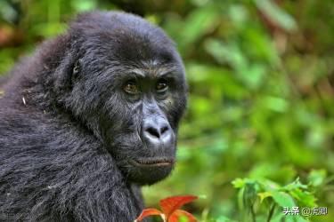 最成功的大猩猩王11岁生子,儿子夺取王位后,如何面对自己母亲?